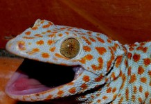 Million Rupee Reptile - Tokay Gecko