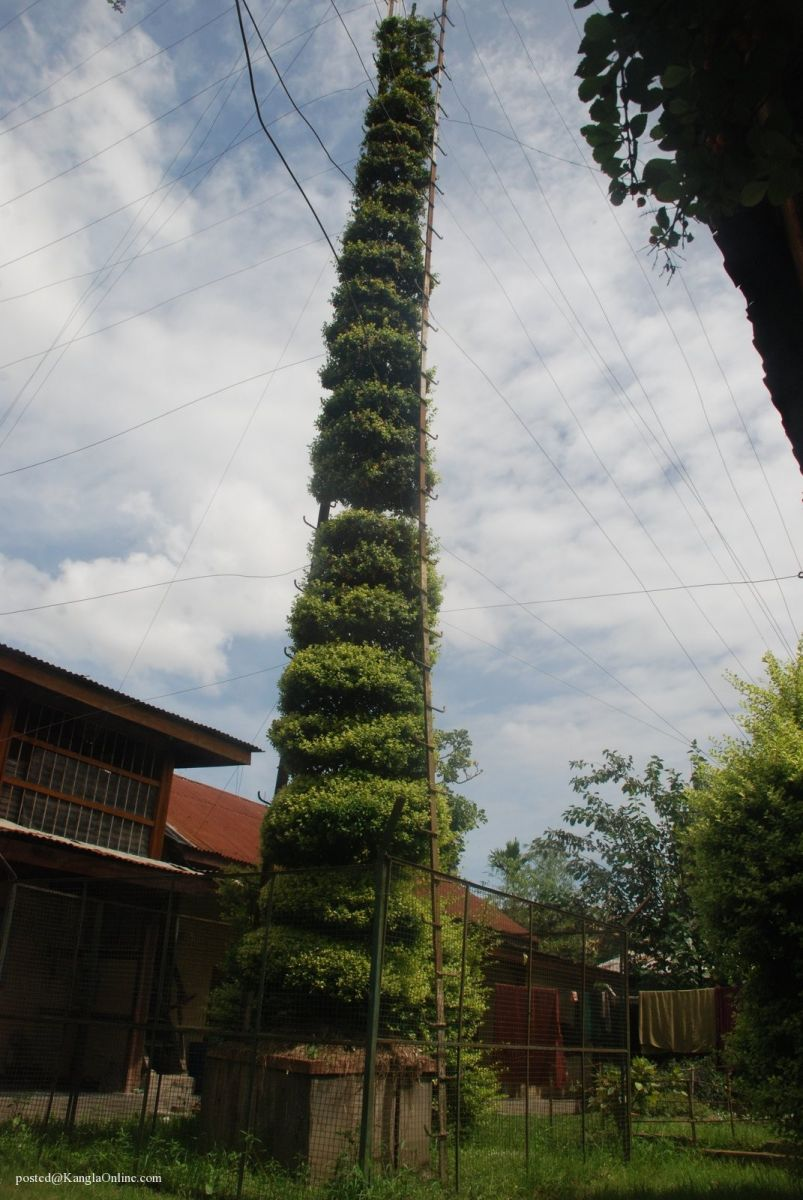 Samban-Lei-Sekpil (Duranta repens L) - Tallest Topiary - Guiness Book Of Records (9)
