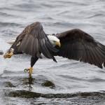 Bald Eagle Fishing Iowa 3
