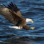 Bald Eagle Fishing Iowa 6