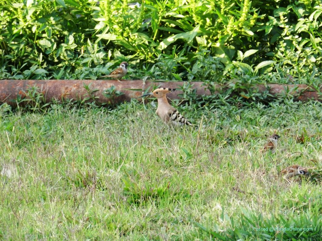 Chongnga Laba - Upupa epops - Hoopoe - Birds of Manipur