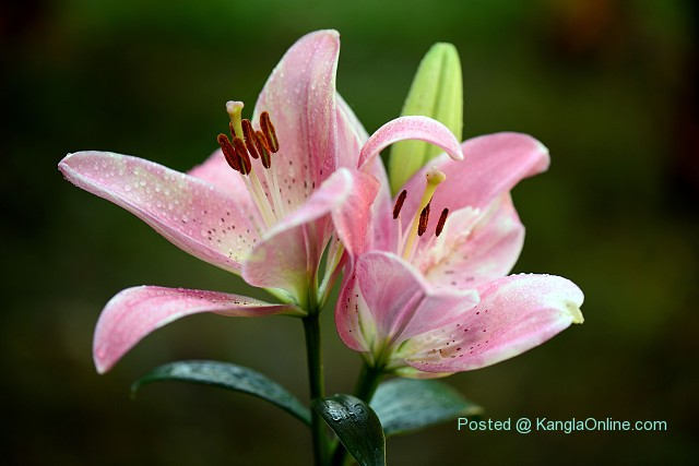 Shirui Lily or Siroi lily, Lilium mackliniae, is found in the upper reaches of the Siroi hill ranges in the Ukhrul District of Manipur, India,