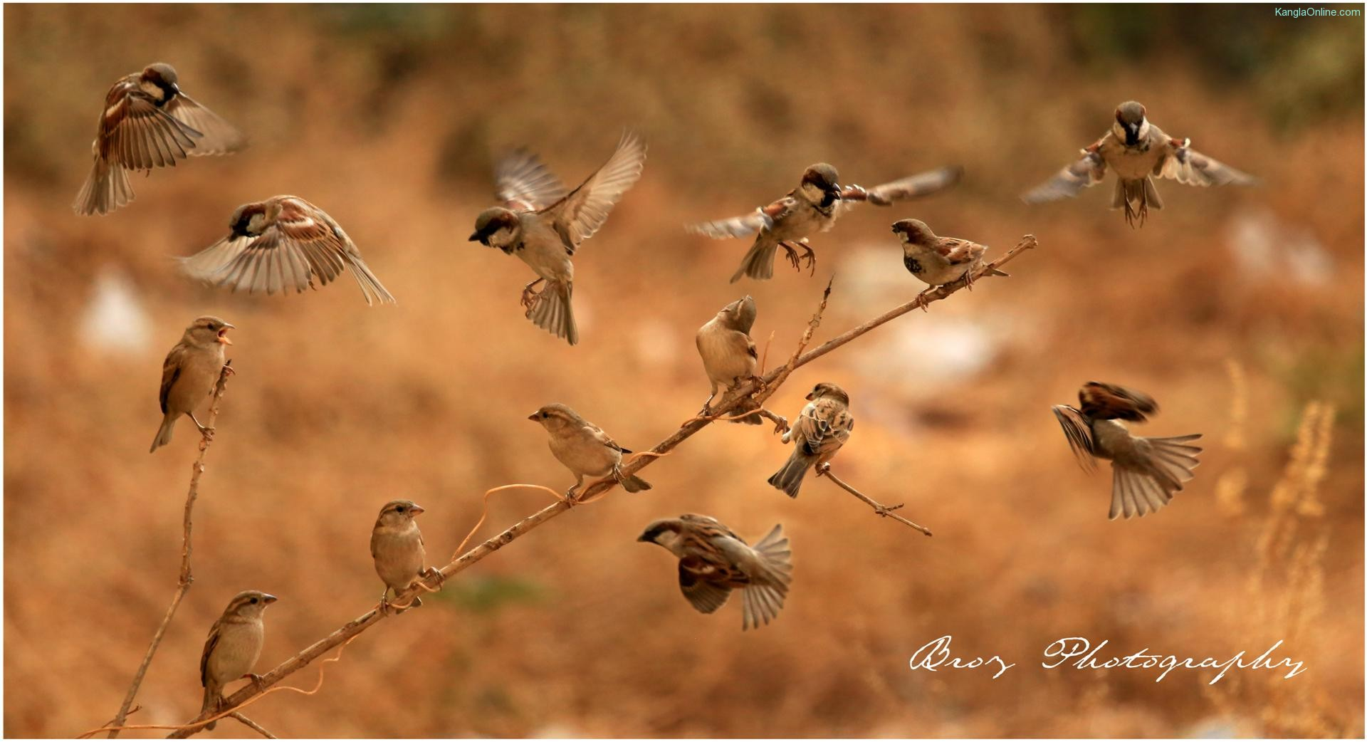 World Sparrow Day - Passeridae - Ningombam Brojendro Meitei - Photography Manipur