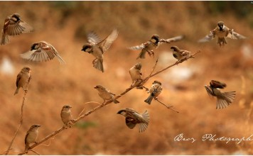 World Sparrow Day - Passeridae - Ningombam Brojendro Meitei - Photography Manipur