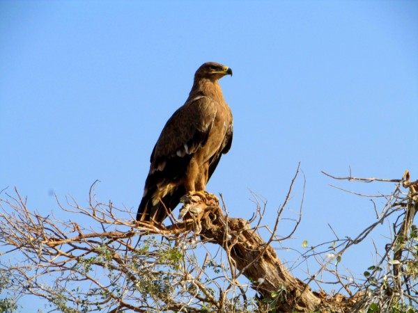 Steppe Eagle - Siddhesh Surve