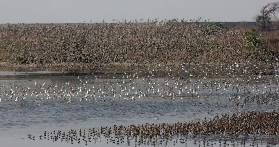 Congregation of Waders (Photo: Parveen Shaikh)