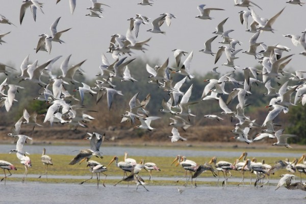 Congregation of terns at NRI Wetland (Photo: Parveen Shaikh)