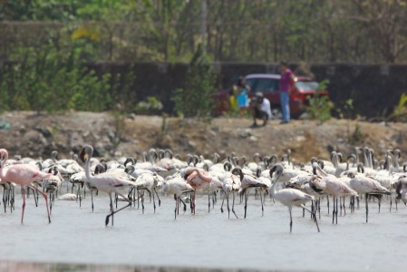 Lesser Flamingo (Photo: Parveen Shaikh)