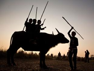 In Magh Bihu celebration (which is held in month of January) the bulbul/ buffalo fights are organised as a part of the age old tradition.