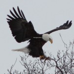 Beautiful Eagle Pitures