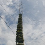 Samban-Lei-Sekpil (Duranta repens L) - Tallest Topiary - Guiness Book Of Records (7)