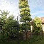Samban-Lei-Sekpil (Duranta repens L) - Tallest Topiary - Guiness Book Of Records (1)