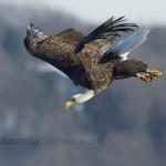 Bald Eagle Fishing Iowa 1