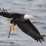 Bald Eagle Fishing Iowa 4