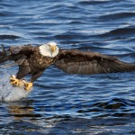 Bald Eagle Fishing Iowa 5