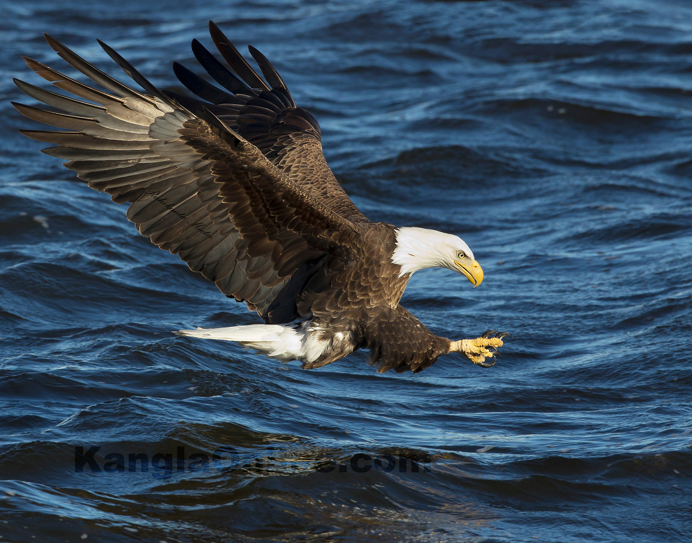 Bald Eagle Fishing Pictures at Lock and Dam No. 14 is located near LeClaire, Iowa on the Upper Mississippi River , United States