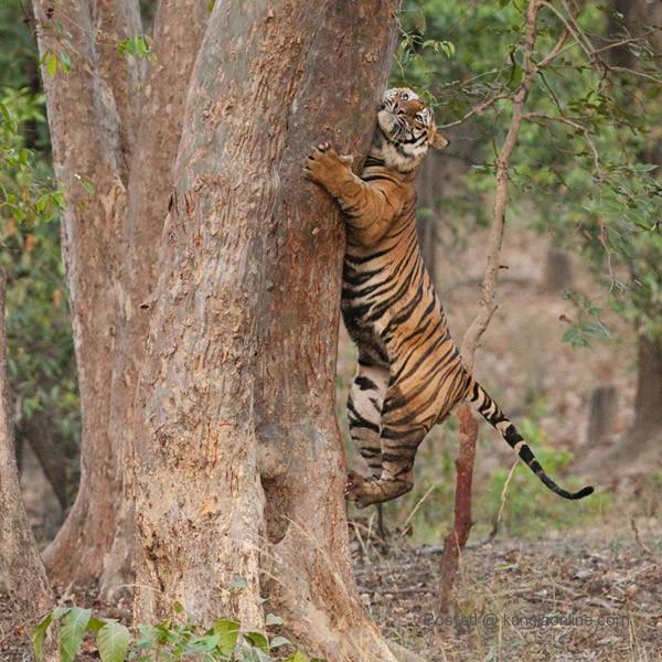 Royal Bengal Tiger - Panthera Tigris