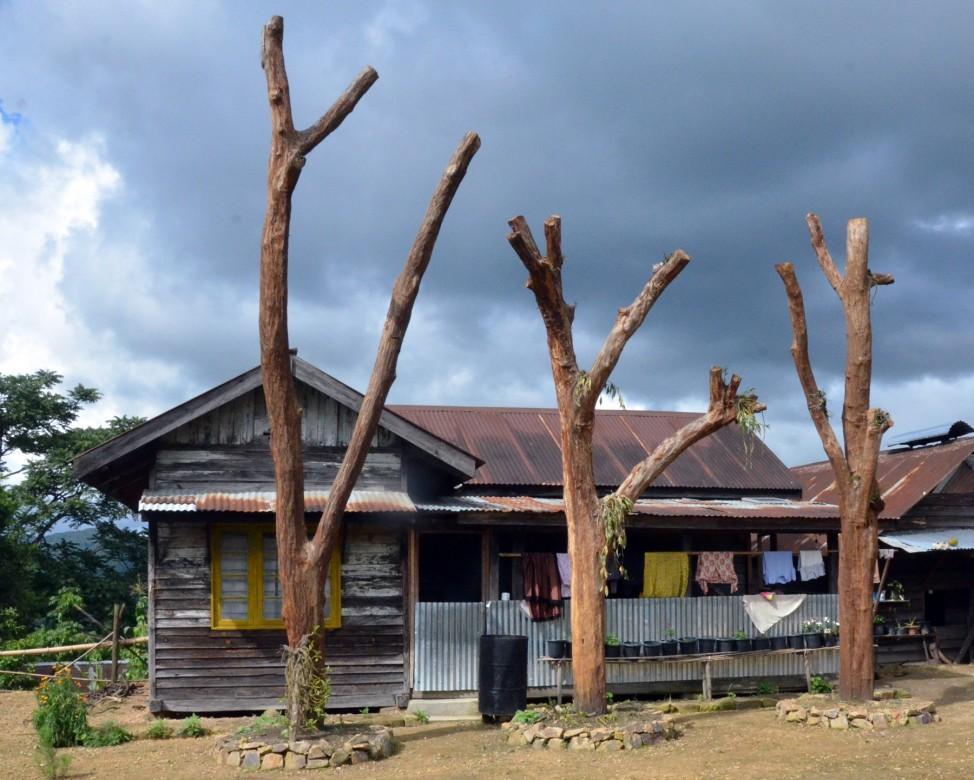 Ngainga Tarung Tree. Photo-  Chingtham Balbir Khuman