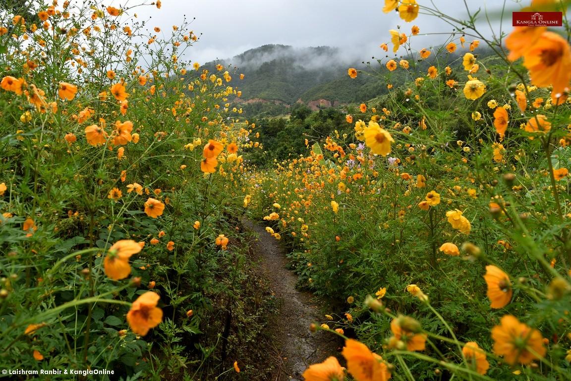 cosmos-wildflower-20